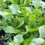 Quelques légumes qui poussent vite