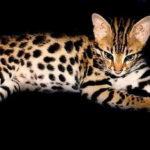 Le Savannah : croisement entre un serval et un chat domestique